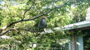 台灣獼猴造訪內覺禪林